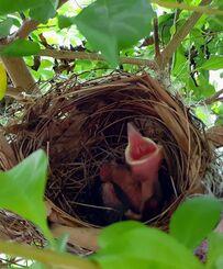 小渡勉さんの庭で生まれたヒヨドリのひな=17日、恩納村真栄田の自宅