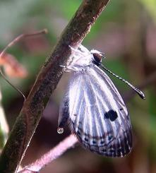 (3)羽を乾かす間に排泄し、その後飛び立った=10月30日午後2時42分、東村高江(宮城秋乃さん提供)