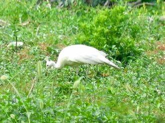 たびたび目撃される純白のクジャク