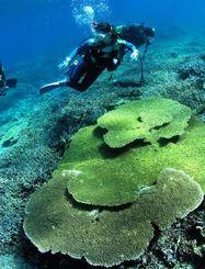 サンゴが広がる慶良間諸島海域=2005年11月6日撮影