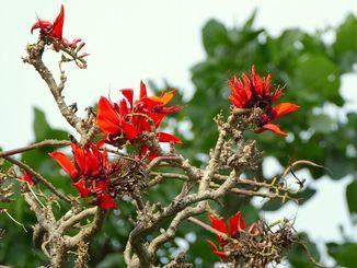 久茂地川沿いのデイゴ並木で1本だけ咲いている木を見つけました