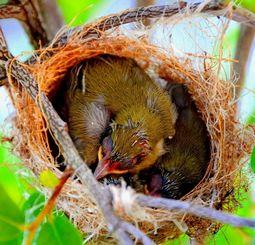 巣の中で親鳥を待つ3羽のメジロのひな=21日、豊見城市豊崎