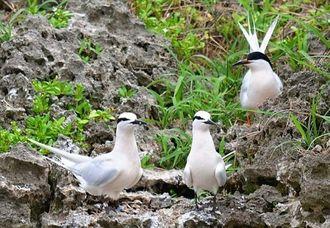調査で確認されたエリグロアジサシ(手前2羽)とベニアジサシ(奧)=名護市・屋我地島周辺(環境省やんばる野生生物保護センター提供)