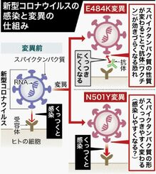 新型コロナウイルスの感染と変異の仕組み
