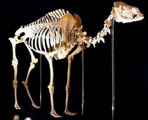 哺乳類の骨の数はいろいろ。写真はヒトコブラクダ(全身骨格)