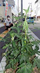 街路樹スペースにすくすくと育つオクラ=8月30日、石垣市大川の「ゆいロード」