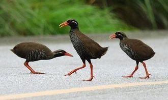 道路に出て縄張り争いをする3羽のヤンバルクイナ=9日午前6時17分、国頭村楚洲(金城健太撮影)
