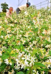 畑一帯は満開に咲いたテイカカズラの香りが漂う=八重瀬町世名城