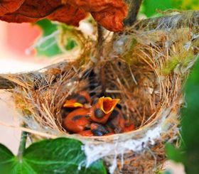 枝の間に作られた巣で、すくすくと育っているメジロのひな=7月29日、伊江島ハイビスカス園