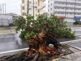 大きな街路樹が倒れ、道路をふさいでいた=29日午前11時35分、南城市大里