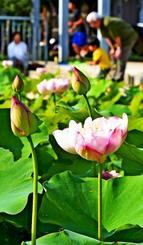 公園を彩る淡いピンク色のハスの花=8日午後、那覇市・天久ちゅらまち公園(渡辺奈々撮影)