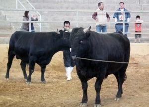 将来の横綱が期待され審査にかけられる牛たち=2月14日、うるま市石川・多目的ドーム