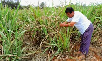 4月から続く少雨の影響で一部枯れたサトウキビをチェックする農家の男性=11日、南大東村南