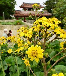 守礼門周辺で咲き始めたツワブキ。鮮やかな黄色い花が観光客らを出迎える=6日午後、那覇市・首里城公園(金城健太撮影)