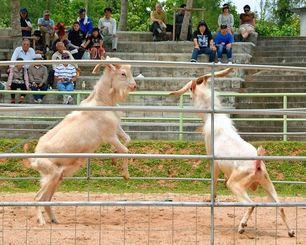 角をぶつける前に、体を起こして勢いをつけるヤギ=4日、本部町浦崎・町多目的イベント広場