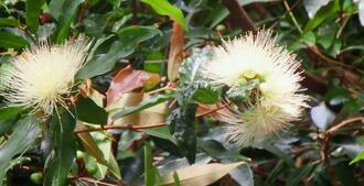 宇茂佐の方言で「フートー」と呼ばれているフトモモの花=5日、名護市旭川