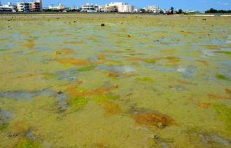 大量発生した海藻「ホソエダアオノリ」が確認できる泡瀬干潟=19日、沖縄市・泡瀬干潟