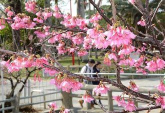 与儀公園(那覇市) ガーブ川沿いを中心に約400本のカンヒザクラが並ぶ与儀公園。例年満開は2月中旬ごろだが、暖かな日差しを受けて数本がピンクの花を咲かせていた。  なはさくらまつりは同公園で2月11日から=29日、那覇市与儀(我喜屋あかね撮影)