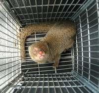 生態系の脅威・マングース、沖縄本島北部での捕獲数が減少 県道2号以北で生息ゼロに