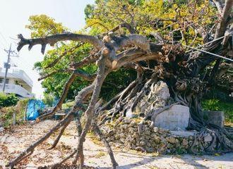 枝が折れた浜川のアコウ=16日午後3時45分ごろ、北谷町浜川
