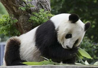 神戸市立王子動物園のジャイアントパンダ「タンタン」