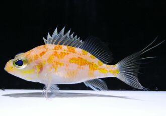 新種と判明したチュラシマハナダイ(国営沖縄記念公園・海洋博公園提供)
