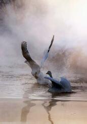 二十四節気の「大寒」を迎え、厳しい冷え込みとなった北海道帯広市の十勝川の支流で立ち上る川霧の中、羽を休めるハクチョウ=20日早朝