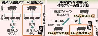 従来の優良アグーの選抜方法と、DNA情報を活用した優良アグーの選抜方法