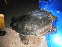 道路に迷いウミガメ! 沖縄の島で繰り広げられた救出劇