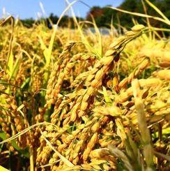 OISTなどの共同研究グループが県産品種の開発に取り組む「難消化米」(OIST提供)