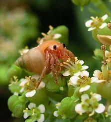 花の蜜を食べるオカヤドカリ。脚に花粉がついていることも注目される(東和明さん撮影)