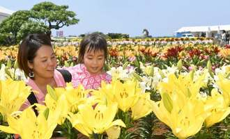 色鮮やかなユリが満開を迎え、訪れる人の目を楽しませている=1日、伊江村東江上・リリーフィールド公園(渡辺奈々撮影)