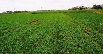 久米島町大原の紅イモ畑。同町には2014年度時点で33ヘクタールの作付面積がある(同町産業振興課提供)