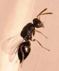 ハチをもってハチを制す! 沖縄県花デイゴの害虫駆除へ、県が実証実験