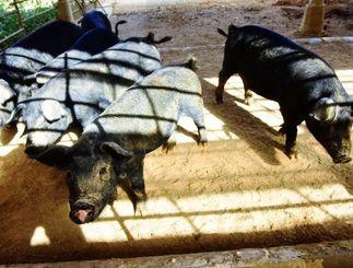 金武町の農場で肥育されている「金アグー」(キンアグー提供)