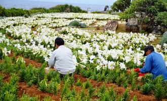 「伊江島ゆり祭り」の中止を受け、ユリの花を一つずつ摘み取る作業員ら=21日、伊江村
