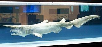 「深海探検の部屋」に展示中のミツクリザメの標本(沖縄美ら海水族館提供)