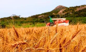 豊作となった神山利和さんの小麦=12日、伊是名