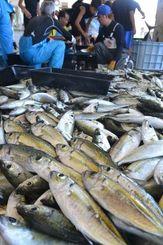 大漁に捕れたガチュンの選別作業をする漁師=2日、読谷村都屋漁港