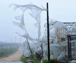 ハウスのビニールシートが台風で破れ、風に吹かれる=8日午後2時30分ごろ、八重瀬町具志頭付近(下地広也撮影)