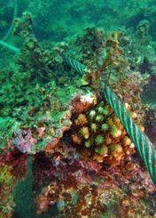 ワイヤロープでこすれたような傷があるサンゴ=17日、名護市辺野古沿岸(ヘリ基地反対協ダイビングチーム提供)
