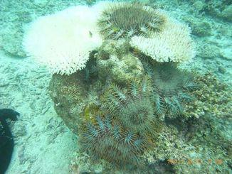 サンゴを捕食するオニヒトデ(写真右上)=鈴木豪研究員提供