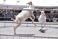 ヤギのガチンコ勝負 瀬底島でピージャーオーラサイ