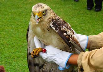 昨年12月保護され、今年1月の放鳥時に元気な姿を見せていた若鳥「アルタ」=1月16日、石垣市名蔵(環境省石垣自然保護官事務所)