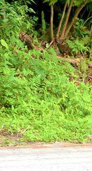 ドリフト走行があった約5時間後、タイヤ痕の残る道路脇からヤンバルクイナ(中央上)が茂みに入っていった=5日午前7時半ごろ、沖縄県国頭村辺野喜※スマホアプリで画質加工したものです