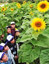 被災地の復興を願うヒマワリを見学する福島の子どもたち=24日午後、糸満市摩文仁・県平和祈念公園(長崎健一撮影)