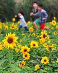 背丈が低く手のひらほどの花が一面に広がるヒマワリ畑=28日午後、北中城村熱田(金城健太撮影)