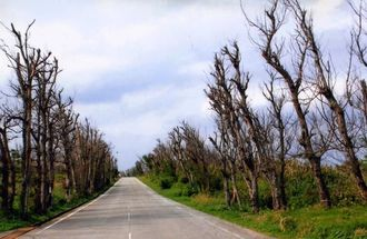台風被害などの影響で立ち枯れしたモクマオウ=伊江村・北海岸一周道路