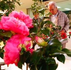 ツバキの展示作業に追われる沖縄椿協会のメンバーら=23日、那覇市緑化センター