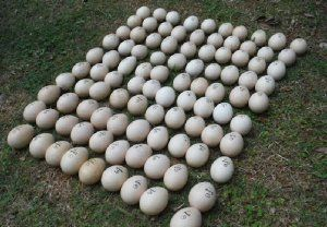 小浜島で駆除されたインドクジャクの卵(竹富町自然環境課提供)